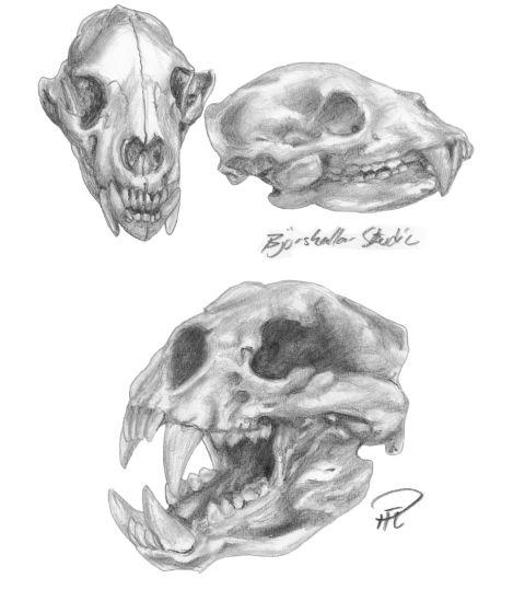 Studier björnskallar bear skulls Kashar_resize